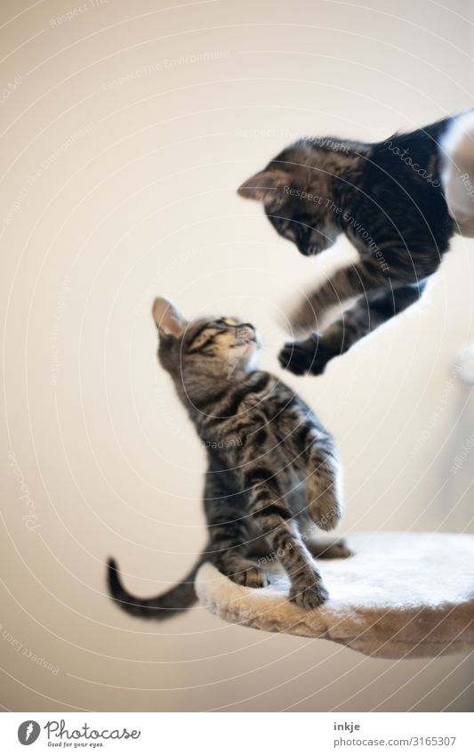 sib Pet Cat 2 Animal Baby animal Fight Playing Argument Authentic Small Cute Emotions Kitten Colour photo Subdued colour Interior shot Close-up Deserted