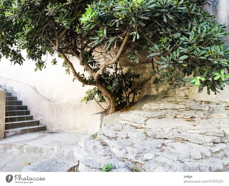 Corsican tree Summer Beautiful weather Tree Exotic Village Small Town Deserted Places Wall (barrier) Wall (building) Stairs Terrace Mediterranean Bright