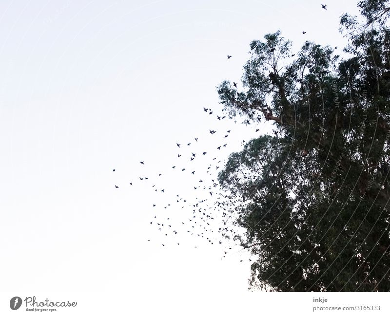 swarm Sky Cloudless sky Tree Wild animal Bird Flock of birds Flying Authentic Many Treetop Colour photo Subdued colour Exterior shot Deserted Copy Space left