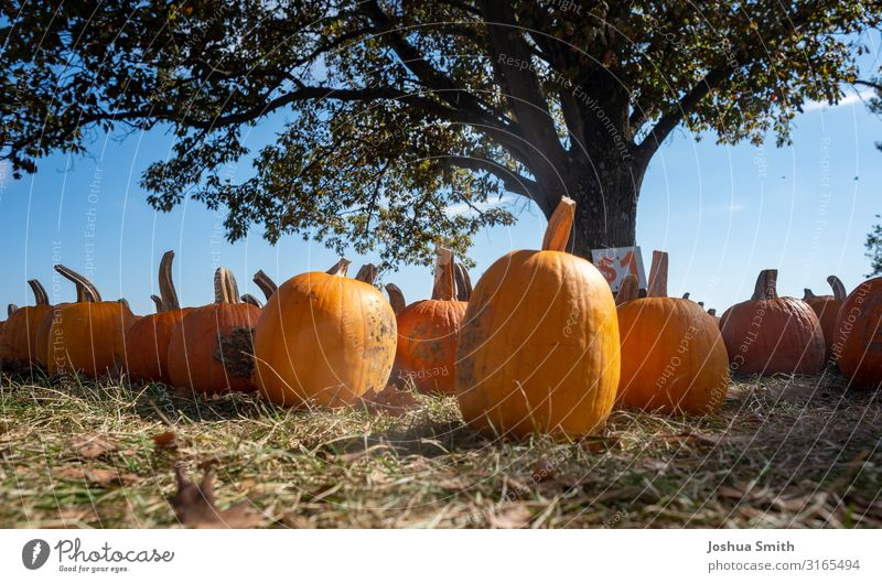 Pumpkins in a field. pumpkin Autumn stock Fall Halloween pumpkins