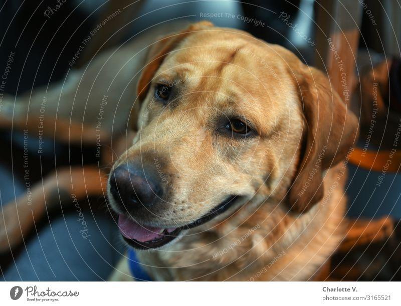 Dog Blue Relaxation Animal Calm Emotions Brown Illuminate Lie Blonde Authentic Large Friendliness Serene Near Pet