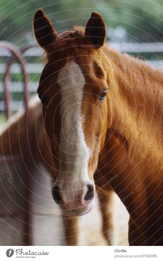 Chestnut mare with broad blaze Lifestyle Joy Leisure and hobbies Ride Equestrian sports Barn open stable Animal Pet Horse Horse's head equestrian 1 Observe