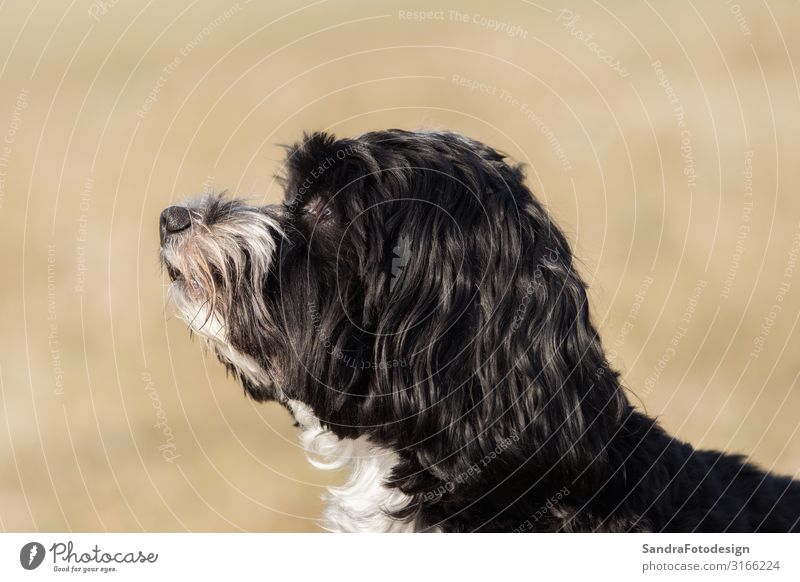 A little Havanese plays outside in the meadow Joy Playing Nature Animal Pet Dog Pelt 1 Feeding Hunting Walking Jump Friendliness Animal Themes domestic