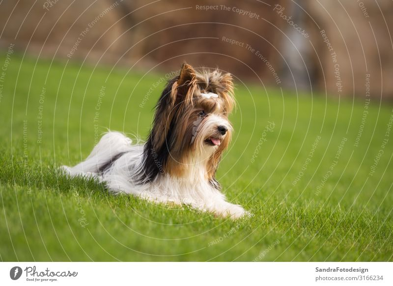 A little Yorkshire Terrier is playing outside in the garden Summer Garden Nature Grass Park Animal Pet Dog Pelt 1 Feeding Walking Playing Friendliness Happy