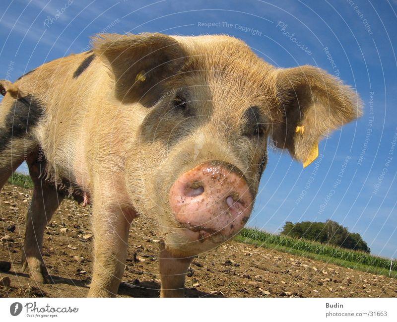 pig face Swine Marvel Close-up
