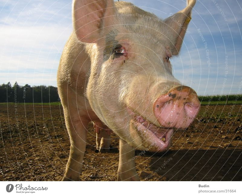 Laughter Swine