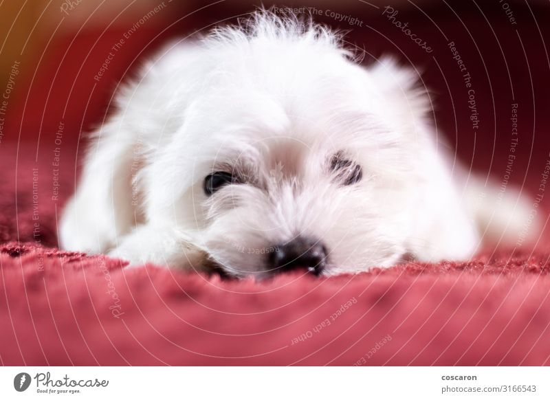 Cute small Maltese puppy lying on the bed Dog Beautiful White Red Animal Loneliness Face Love Sadness Funny Small Friendship Room Lie Infancy Gloomy