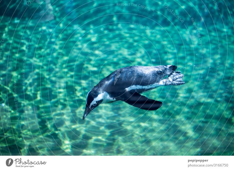 Humboldt Penguin Zoo Water Animal Wild animal Aquarium 1 Swimming & Bathing Dive Green Turquoise Colour photo Exterior shot Animal portrait Full-length
