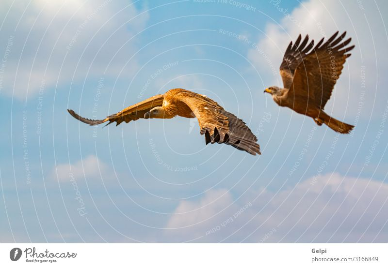 Big brown vulture and a eagle in flight Face Nature Animal Sky Clouds Bird Flying Natural Wild Brown Black White wildlife Vulture Eagle Kite landing wing