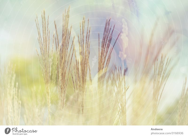 Grasses in front of a light blue sky with pastel shades and blur Environment Nature Plant Air Sky Summer Climate Weather Wild plant Garden Park Meadow Field