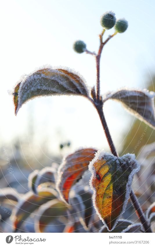 hoarfrost against the light Nature Plant Sunlight Autumn Beautiful weather Ice Frost Bushes Leaf Foliage plant Dogwood Garden Park Brown Yellow Green Red Black