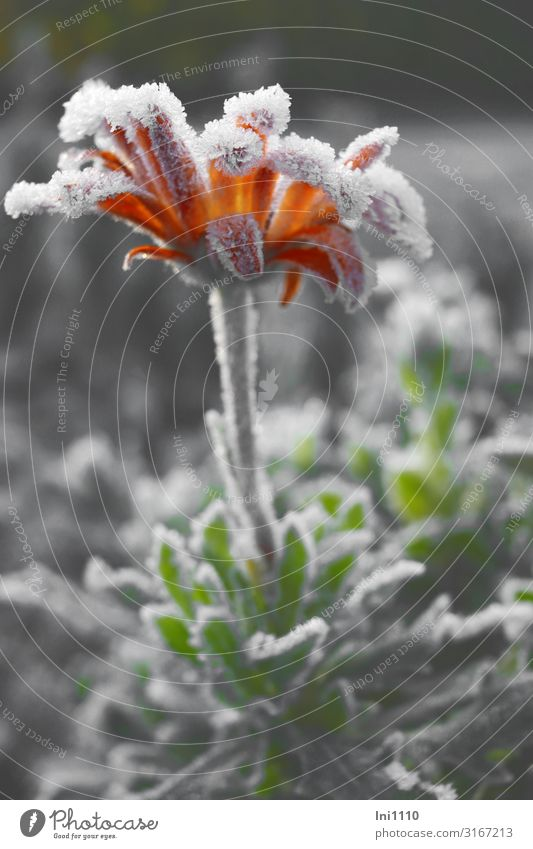 last jewel Nature Landscape Plant Autumn Beautiful weather Flower Leaf Blossom Garden Cold Gray Green Orange White Hoar frost Frost Illuminate Cemetery Jinxed