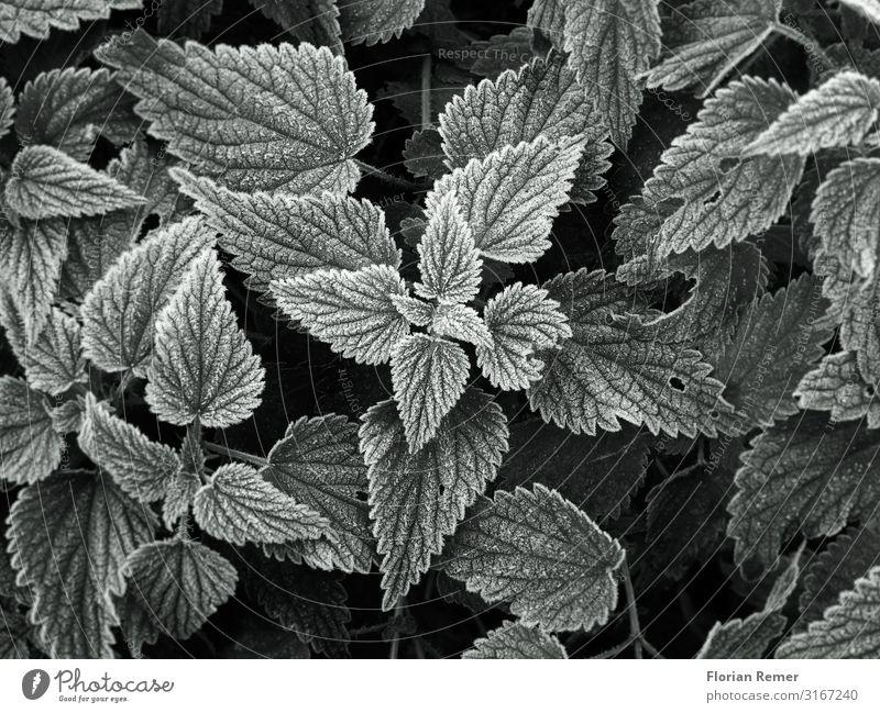 frost Environment Nature Plant Autumn Winter Ice Frost Leaf Foliage plant Esthetic Elegant Cold Black White Serene Patient Calm Uniqueness Creativity Art
