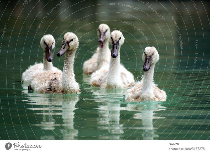 swan gang Environment Nature Water Park Pond Lake Brook Palma de Majorca Spain Balearic Islands Animal Wild animal Bird Swan Mute swan Young bird