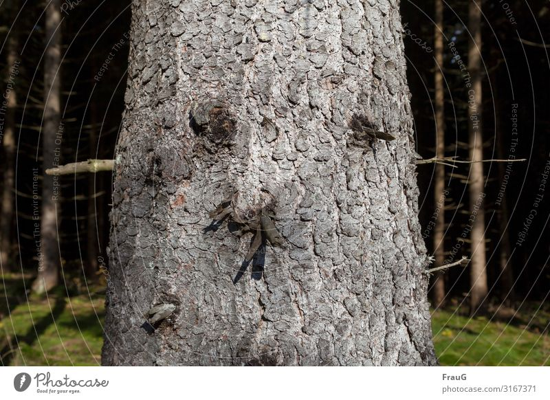 tree face | objective Tree Tree trunk Wood Spruce bark Tree bark Face Twigs and branches Forest Nature Plant Environment Autumn