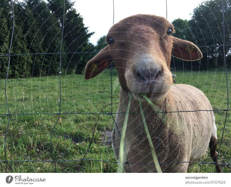 Eat and be eaten... Sheep Farm animal Meadow To feed Grass Willow tree Fence Nose Muzzle Looking Sweet Animal Exterior shot Nature Deserted Animal portrait