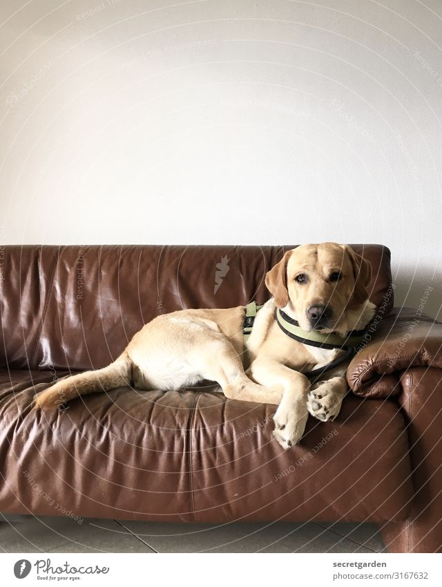 Dog White Relaxation Animal Brown Contentment Wait Curiosity Pet Sofa Expectation Leather Watching TV Love of animals Labrador