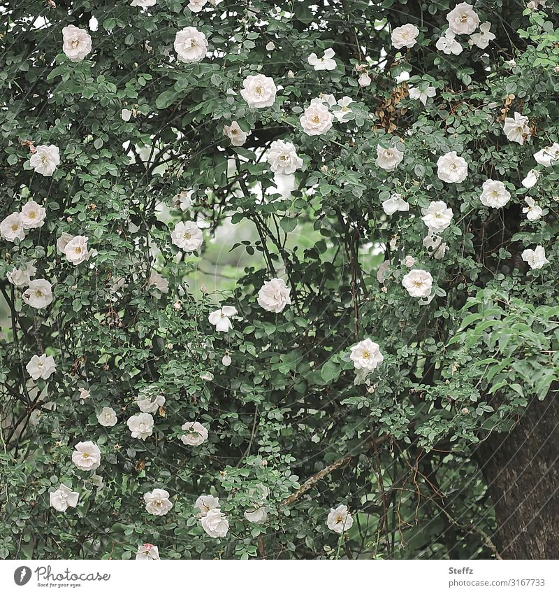 Nature Summer Plant Beautiful Green White Flower Environment Blossom Natural Garden Pink Decoration Esthetic Blossoming Rose
