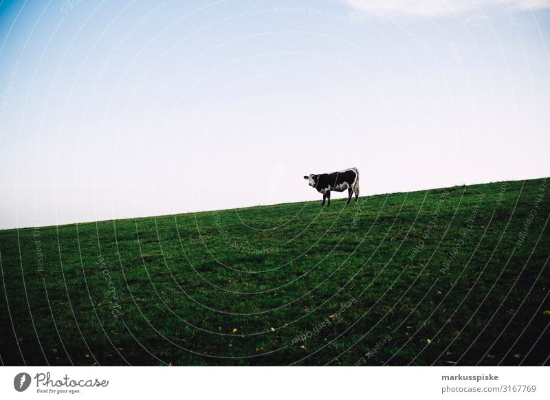 Weiderind - Single cow in the pasture Leisure and hobbies Vacation & Travel Tourism Trip Adventure Freedom Hiking Work and employment Profession Farmer Cow