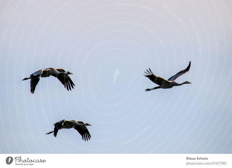 Kranische im Flug Kraniche Schreitvögel Vögel Nature Himmel Zugvögel Schwingen