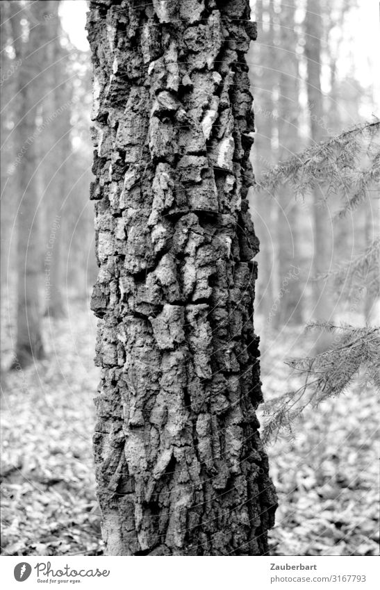 trunk Nature Tree Tree trunk Tree structure Tree bark Forest Old Stand Growth Authentic Natural Strong Gray Black Bravery Power Dependability Calm Honest