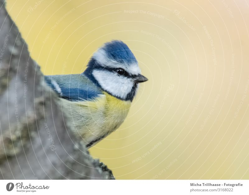 Blue tit looks out Nature Animal Sun Sunlight Beautiful weather Tree Branch Wild animal Bird Animal face Wing Tit mouse Head Beak Eyes Feather Plumed 1 Observe