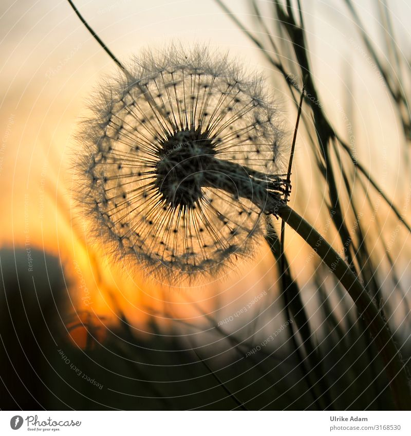 Dandelion - dandelion in warm light at sunset Harmonious Contentment Well-being Relaxation Calm Meditation mourning card Spa Card Funeral service Plant Nature