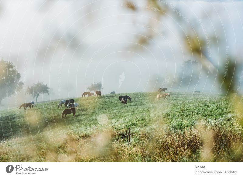 Horses in the pasture in the early morning Landscape Country life Rural Idyll horses paddock Willow tree Meadow in the morning early morning mist Morning fog