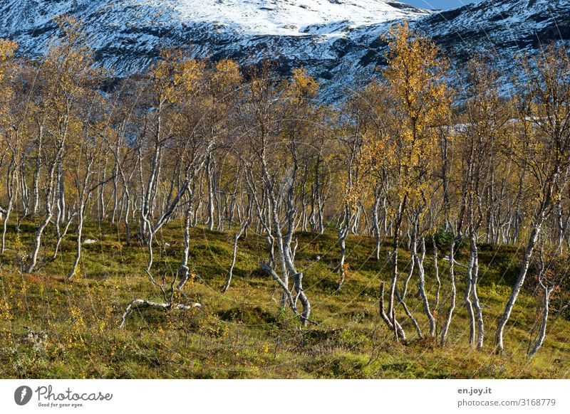 birch woods Vacation & Travel Environment Nature Landscape Plant Autumn Beautiful weather Snow Birch wood Meadow Forest Rock Mountain Lofotes Norway Scandinavia