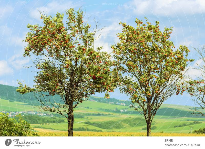 Mountain Ash Fruit Environment Landscape Plant Tree Natural arcadian country Ecological ecosystem Europe mountain ash mountain-ash pomes Mature rowan Rural