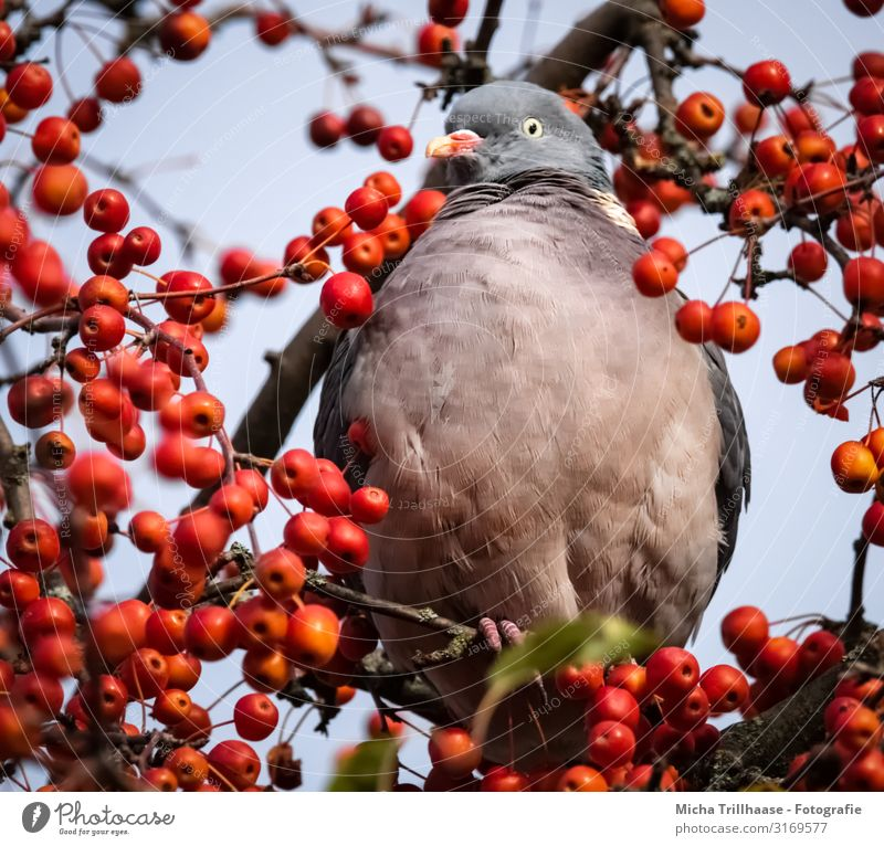 Ringeltaube in an ornamental apple tree Nature Animal Sky Sunlight Beautiful weather Tree ornamented apple Berries Wild animal Bird Animal face Wing Claw
