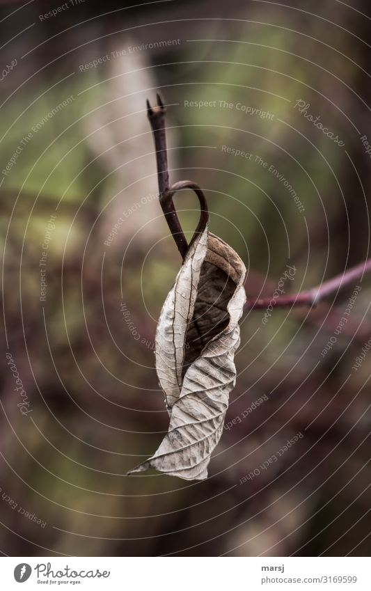 Nicely curled Nature Autumn Plant Leaf Old Hang Dark Authentic Simple Elegant Brown Sadness Grief Death Fatigue Pain Disappointment Loneliness Exhaustion