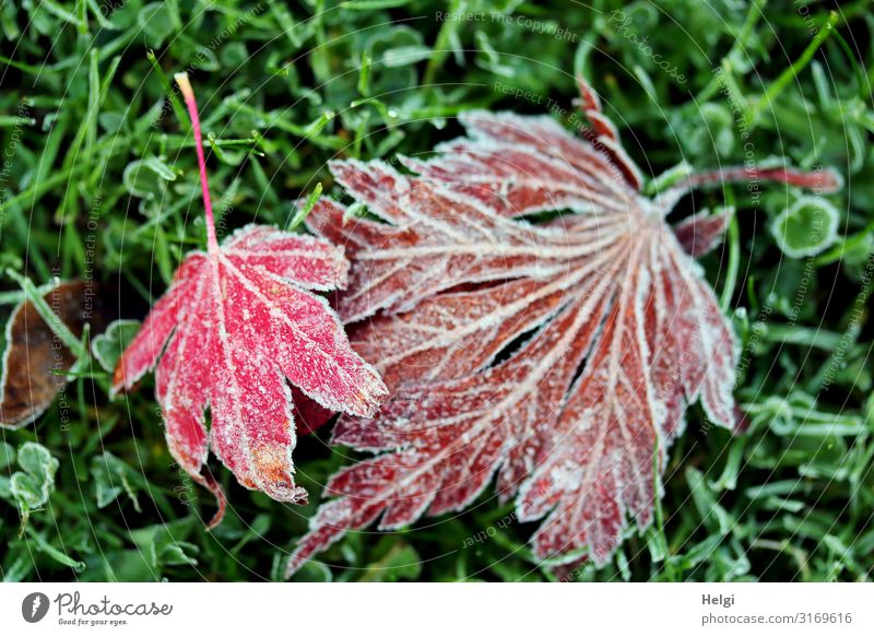 red maple leaves covered with hoarfrost lie on a meadow Environment Nature Plant Autumn Winter Ice Frost Grass Leaf Maple leaf Rachis Garden Old Freeze Lie