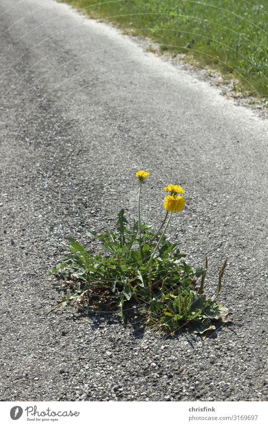 Dandelion flower on asphalt road Nature Landscape Plant Flower Village Town Transport Street Lanes & trails Stone Sign Blossoming Fragrance Growth Yellow Gray