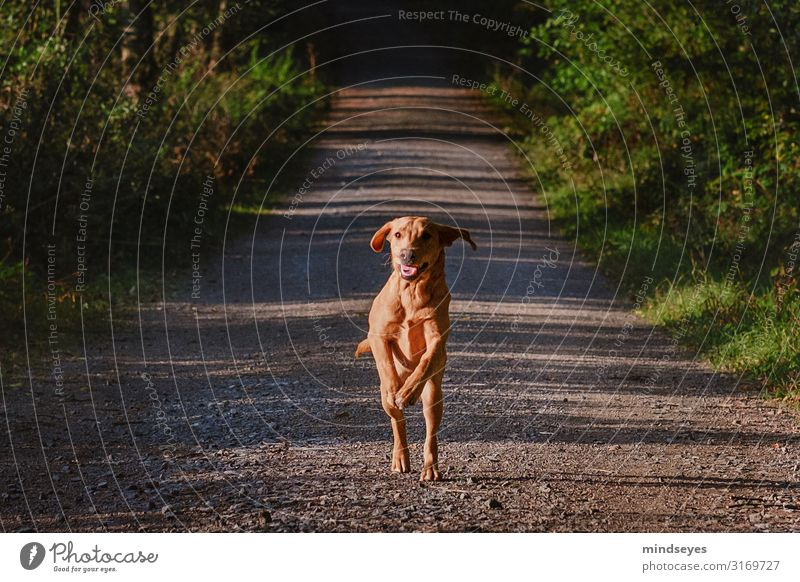 A young Labrador running towards us Environment Nature Autumn Tree Bushes Forest Lanes & trails Animal Pet Dog Utilize Movement Running Athletic Blonde Fresh