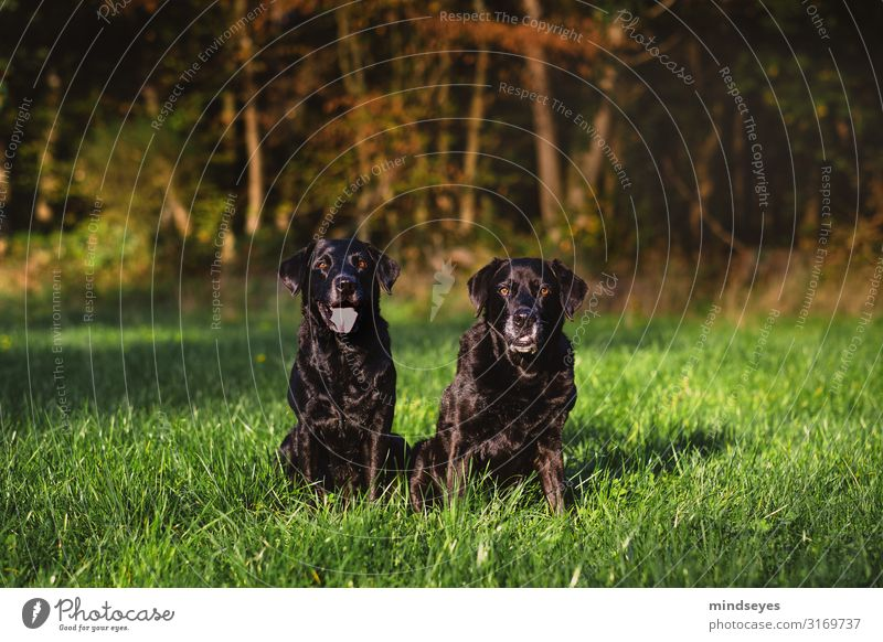 Two black Labradors sit on a clearing in the woods Environment Nature Autumn Grass Meadow Forest Canyon Clearing Animal Pet Dog 2 Observe Looking Sit
