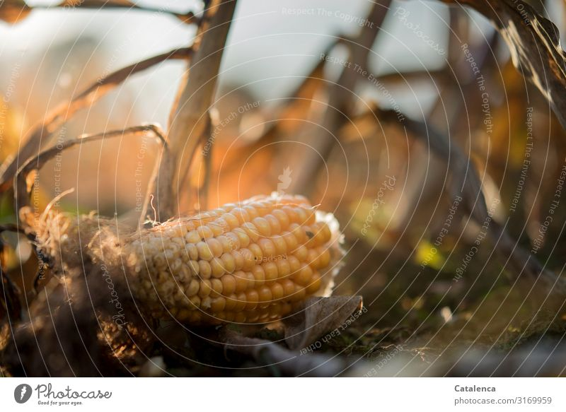 Weltschmerz | Food waste Vegetable Nature Plant Earth Sky Autumn Leaf Agricultural crop Maize field Corn cob Field Faded To dry up Gloomy Dry Brown Yellow Gray