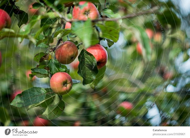 apples Apple Fruit Nutrition Nature Plant Sky Summer Beautiful weather Tree Leaf Apple tree Pomacious fruits To enjoy Hang Carrying Fragrance Authentic Healthy