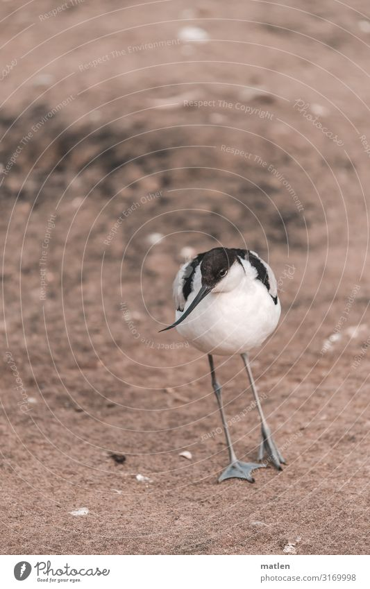 American Avocet Bird Queer fish Sand Full-length Deserted Stand Eye contact segregated