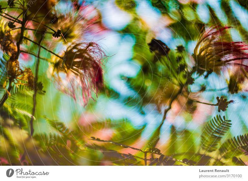 Albizia julibrissin or silk tree in blossom Exotic Garden Nature Tree Flower Leaf Natural Pink Julibrissin albizia Botany Floral fluffy Silk Colour photo