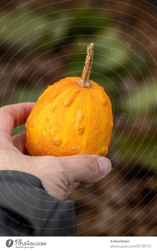 small pumpkin hold Thanksgiving Hallowe'en Hand Fingers Autumn Garden Work and employment Select To hold on Fresh Orange Beautiful Pumpkin Small Decoration