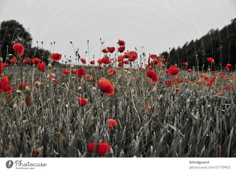 In Flanders fields Grain Environment Nature Plant Sky Summer Climate Beautiful weather Tree Flower Grass Blossom Foliage plant Agricultural crop Wild plant