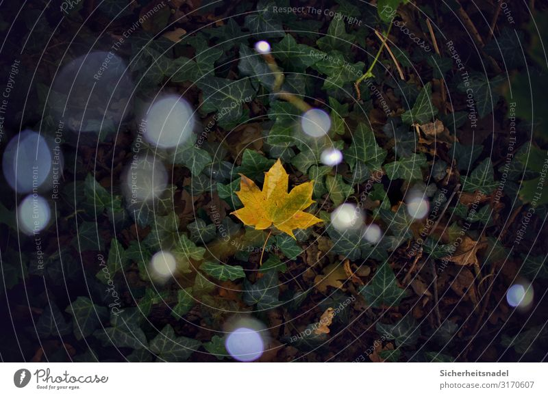 Maple leaf on ivy Nature Autumn Plant Leaf Forest Fairy lights Foliage plant Point of light Blur Colour photo Exterior shot Deserted Bird's-eye view