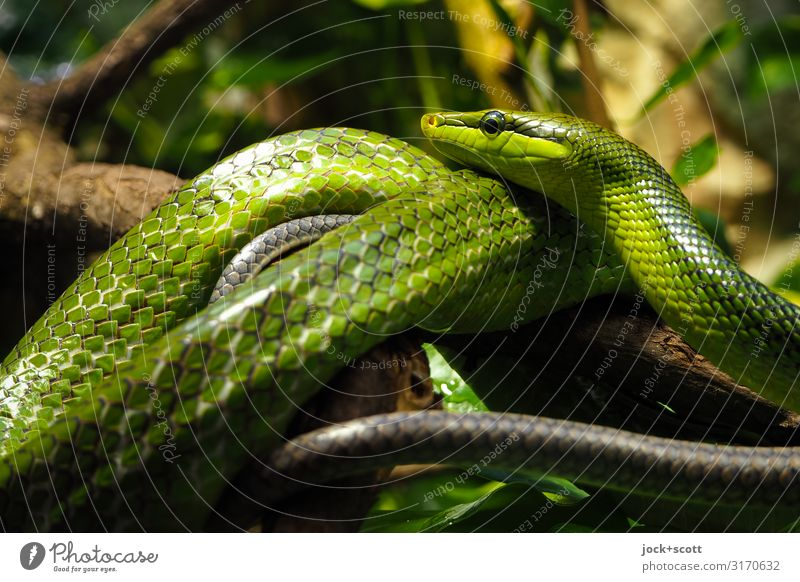 There are plenty of reasons not to like snakes Colour Green Animal Life Together Moody Pair of animals Glittering Lie Power Esthetic Authentic Wait Threat Break