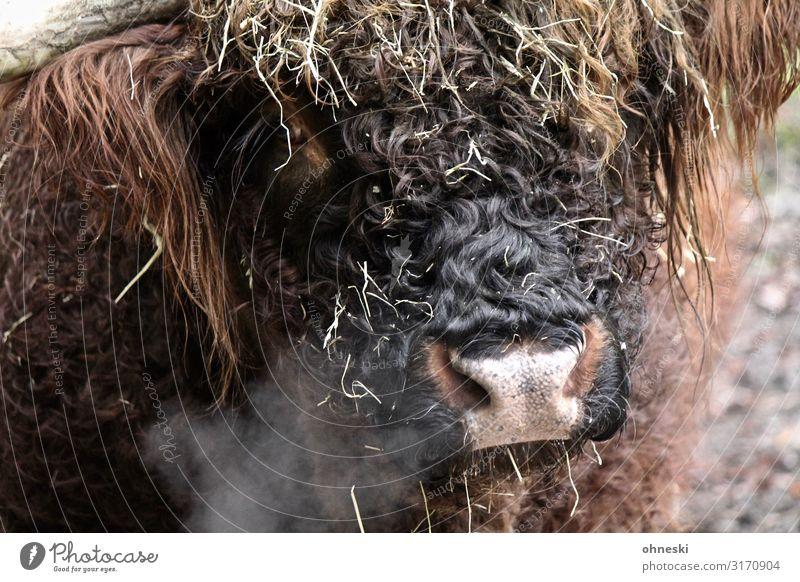 Highland cattle exhale Air Animal Farm animal Cow Cattle Bull 1 Cold Sustainability Breathe Cattle breeding Livestock breeding Colour photo Exterior shot