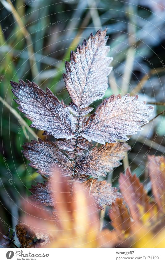 First frost Nature Plant Autumn Winter Ice Frost Grass Leaf Meadow Cold Brown Yellow Green Grass meadow Hoar frost Close-up Macro (Extreme close-up)