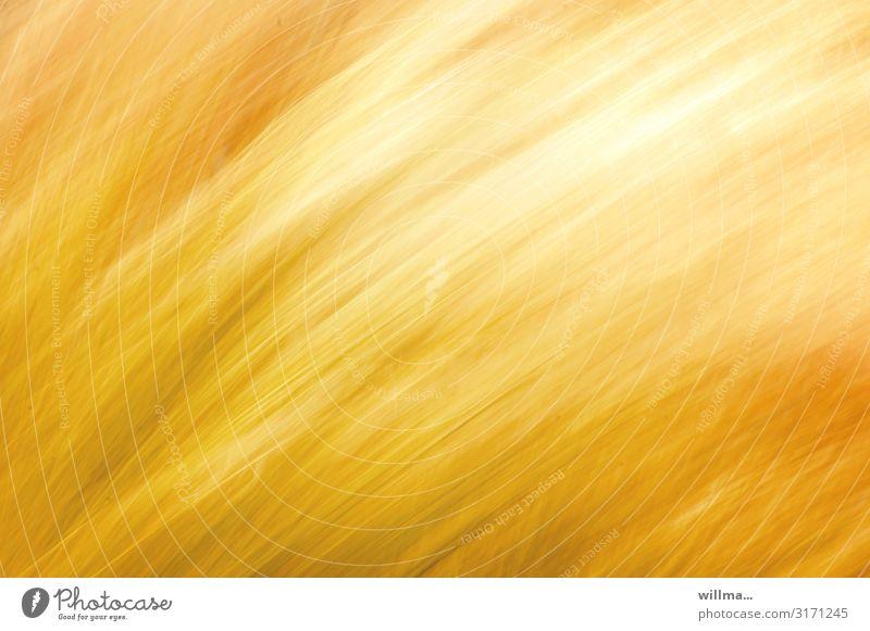 Wavy yellow grain field, blurred Yellow Summer Grain Grain field Cornfield Wind Summery Abstract Movement Illuminate Blur Experimental