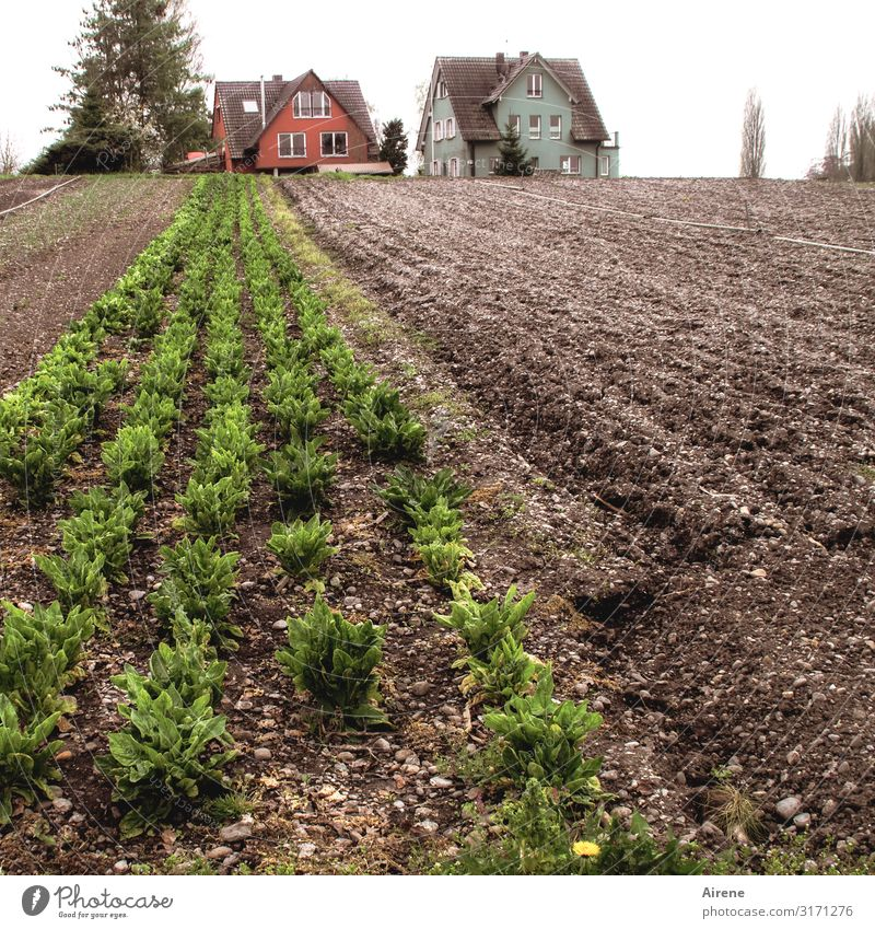 Personal requirements | AST 7 Lake Constance Vegetable Lettuce Salad Agriculture Forestry Vegetable farming Bad weather Foliage plant Agricultural crop Field