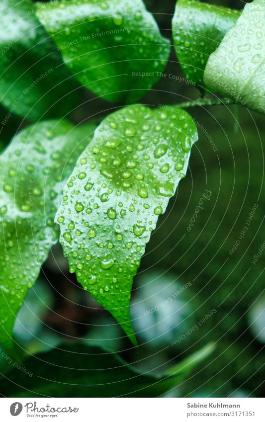 leaves Nature Drops of water Plant Leaf Fresh Glittering Wet Green Growth Colour photo Interior shot Close-up Copy Space right Copy Space bottom Day