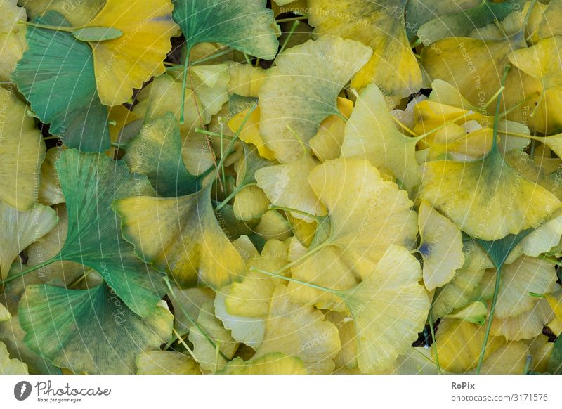 Ginkgo foliage pattern. Lifestyle Design Wellness Harmonious Relaxation Calm Meditation Hiking Agriculture Forestry Art Sculpture Environment Nature Landscape